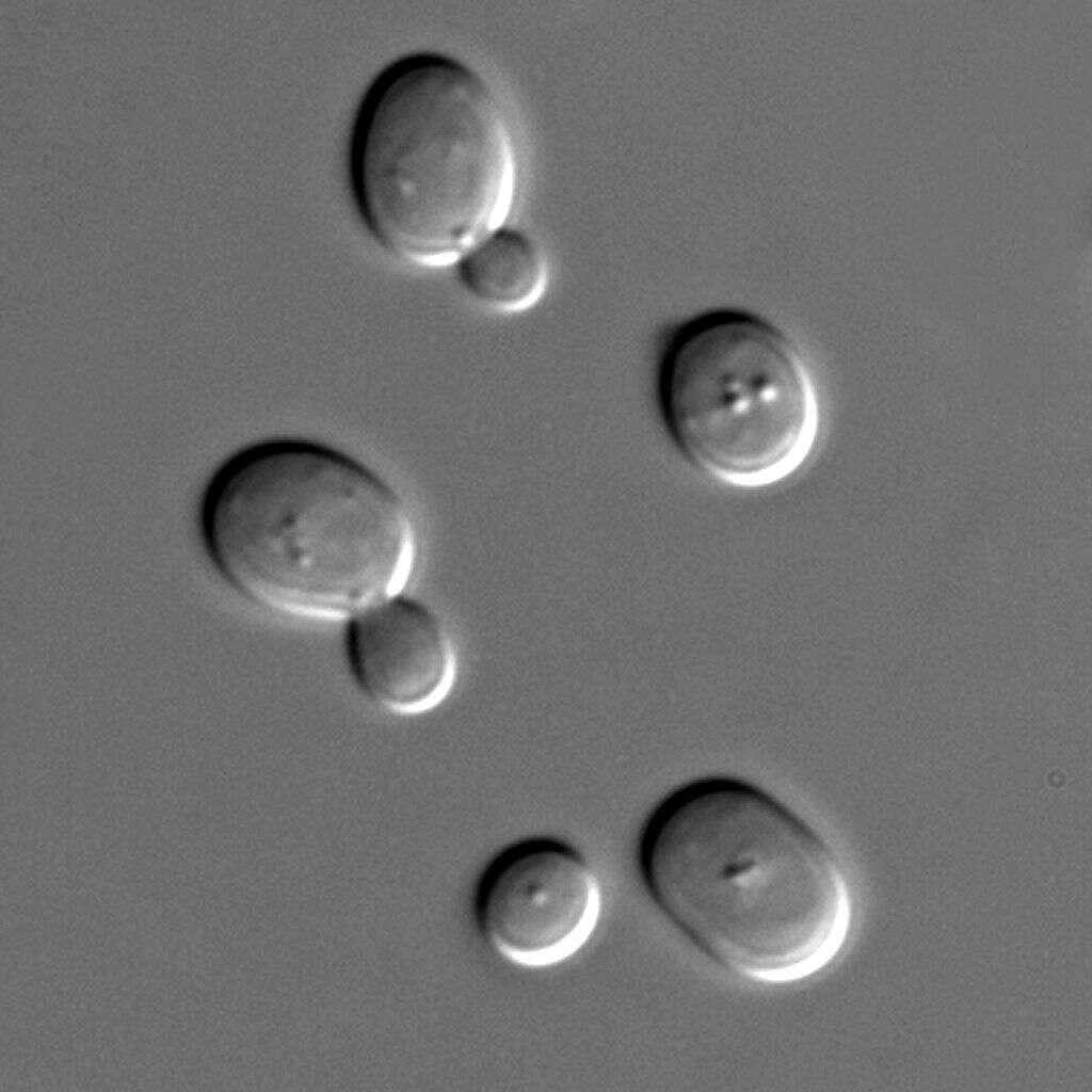 La levure de boulanger Saccharomyces cerevisiae est le membre le plus célèbre de la grande famille des levures. Elle est utilisée dans l'alimentation humaine, mais également dans les laboratoires puisqu'elle fait figure d'un modèle eucaryote idéal. © Masur, Wikipédia, DP