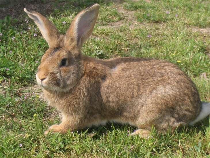 Le lapin vit avec les humains depuis seulement 1.400 ans et on sait précisément où cette histoire a commencé. Il constitue donc un bon modèle pour comprendre comment la domestication modifie à long terme un animal. © Manel pv, Wikimedia Commons, DP