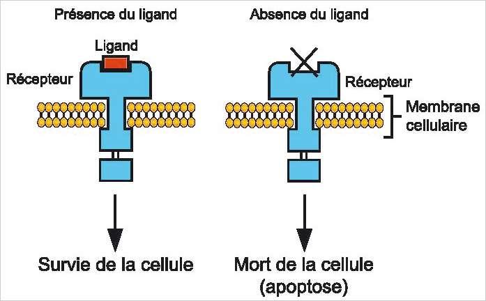 L'action des récepteurs à dépendance dans le mécanisme de l'apoptose. © Inserm/Disc