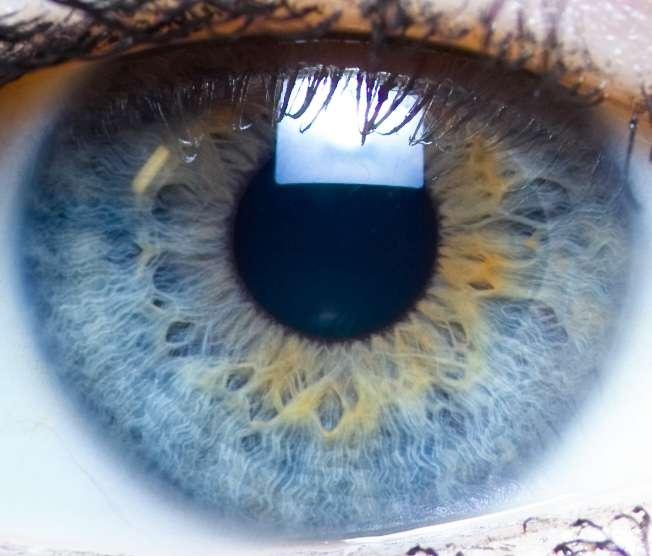 L'iris est une membrane située entre la cornée et le cristallin, et percée d'un trou, la pupille. Deux muscles lisses entourent cette membrane, l'un pour la tendre, l'autre pour la replier. Ces mouvements (réflexes) font varier le diamètre de la pupille, pour ajuster la quantité de lumière pénétrant dans l'œil, à la manière du diaphragme d'un appareil photo. Des cellules pigmentaires sont présentes dans l'épithélium et le stroma de l'iris. Leur nombre et leur disposition conduisent à des colorations variées. © Laitr Keiows, CC by-nc-sa 3.0