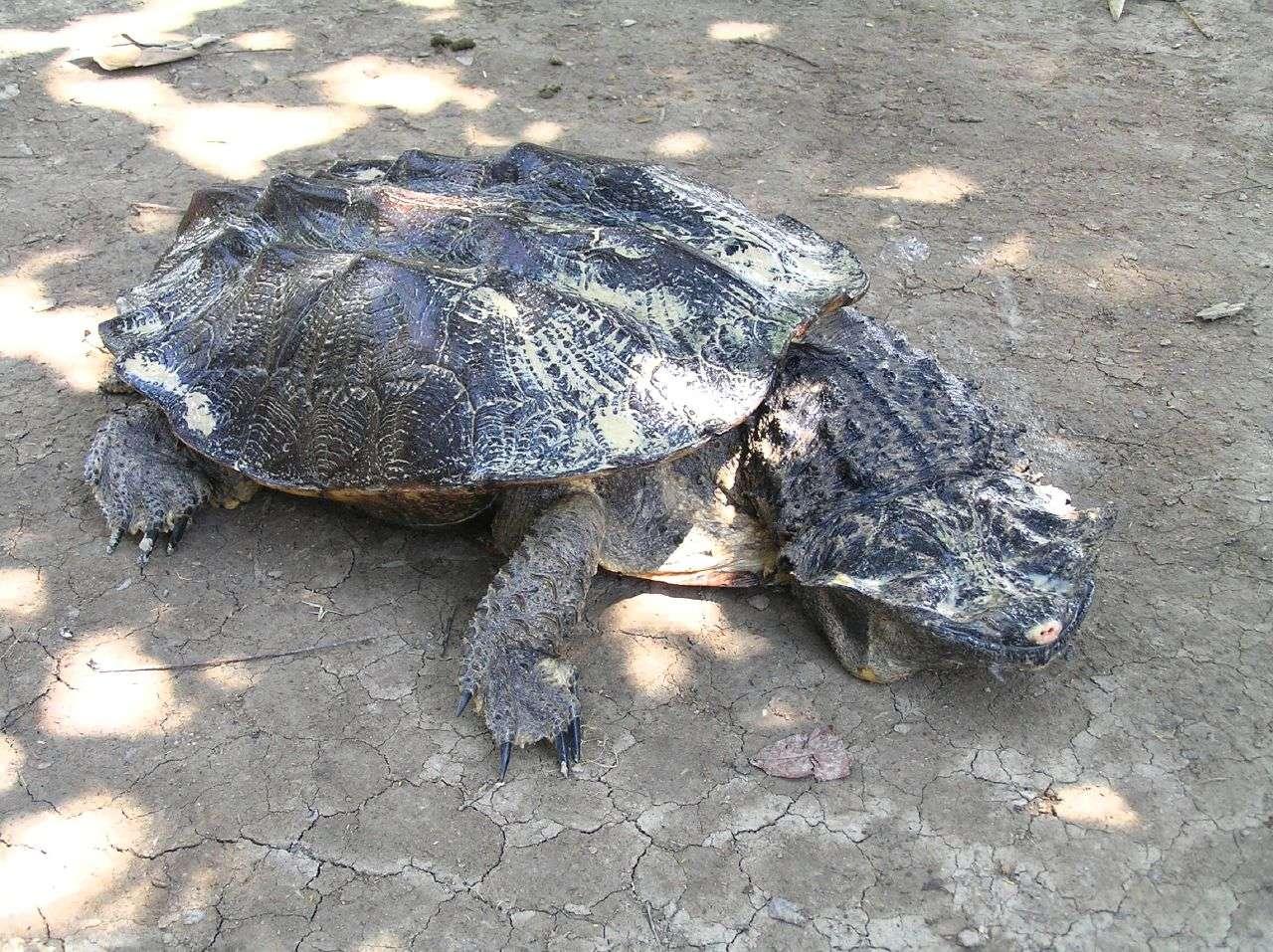 La tortue matamata est l'unique représentante du genre Chelus. © Pierre Pouliquin, Flickr, cc by nc 2.0