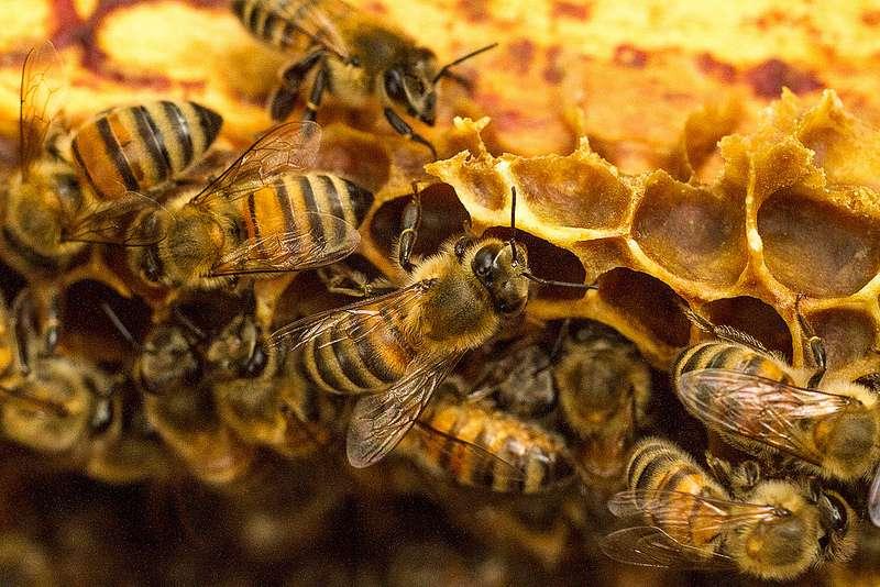 Les bactéries intestinales d'abeilles résistantes à l'oxytétracycline ne sont pas présentes dans le miel. L'Homme ne peut donc pas les ingérer. © Trypode, Flickr, CC by-nc 2.0