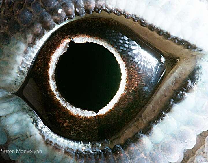 Image de l'œil d'un lézard du genre Anolis, que l'on retrouve dans le sud-est de l'Amérique du Nord et aux Antilles. Ces reptiles vivent la journée et ont une vision très performante. © Suren Manvelyan