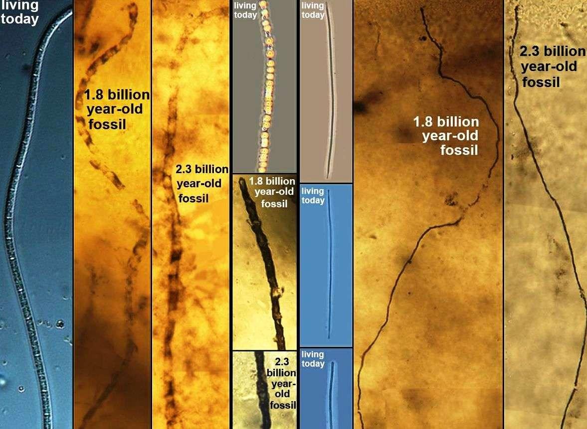 Les chercheurs ont comparé ces fossiles de bactéries sulfureuses âgées de 1,8 et 2,3 milliards d'année à certains micro-organismes modernes trouvés dans les fonds boueux de l'océan Pacifique. Résultat : pendant des milliards d'années l'évolution ne semble pas avoir laissé son empreinte sur ces bactéries primitives. © UCLA Center for the Study of Evolution and the Origin of Life