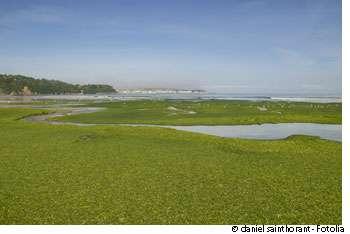 Les ulves et autres algues vertes abondent sur les côtes atlantiques, en particulier bretonnes. Ces végétaux se multiplient grâce aux nitrates, un engrais efficace, déversés via les rivières et provenant en grande partie du lisier produit par les élevages intensifs de porcs et de volailles. © Daniel Saint Horant / Fotolia