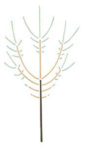 Les rameaux (en vert) des extrémités des branches (en orange) vont grandir plus vite que ceux issus des bourgeons à leur base, ce qui conduit à la formation d'un tronc (marron). © Pascal Prieur/Raimbault et Chartier 1990