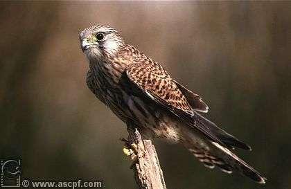 BNF : les faucons crécerelles au sommet de la tour des Lois
