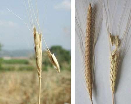 Photo 1 - d'épis de blé sauvage dont l'épillet est en train de se disséminerPhoto 2 - A gauche épi de blé domestique (indéhiscent), à droite épi de blé sauvage dont l'épillet est en train de se disséminer.© George Willcox