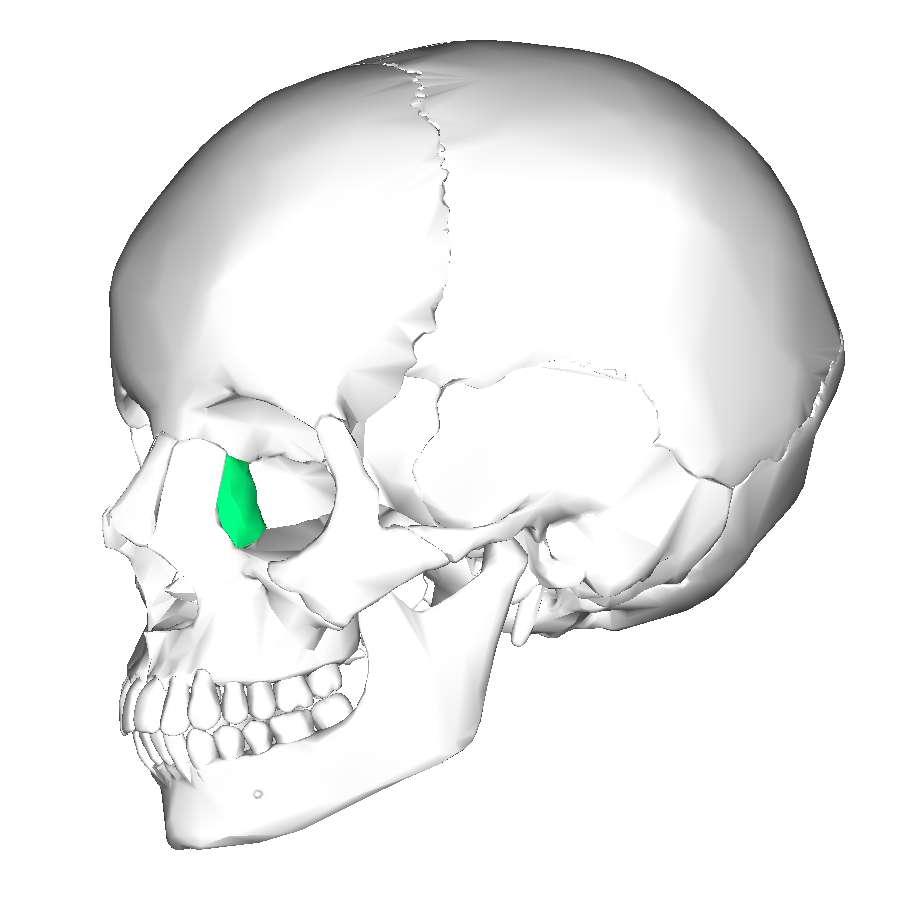 L'os lacrymal possède une cavité qui forme la fosse du sac lacrymal. © en:Anatomography, Wikimedia Commons, CC by-sa 2.1