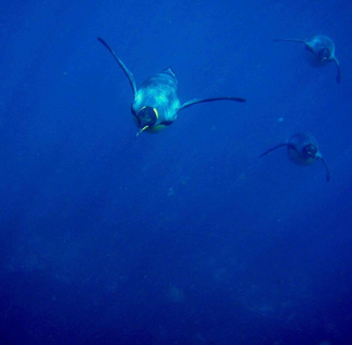 Les manchots royaux sont d'excellents nageurs, atteignant couramment entre 3 et 12 km/h (d'après B.M. Culik et al, J. of Exp. Biology, 1996). © David Beaune