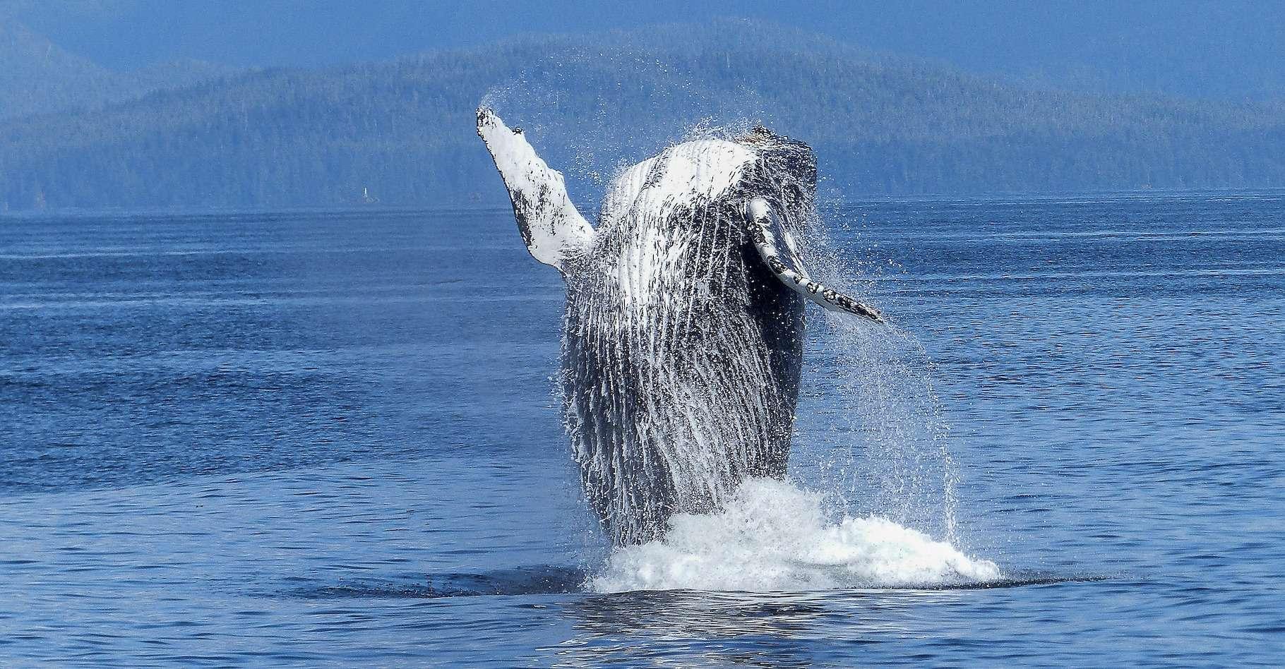 Selon des chercheurs de l'université de Washington (États-Unis), il y aurait aujourd'hui de nouveau presque autant de baleines à bosse dans l'Atlantique sud qu'avant le début de leur chasse intensive. © ArtTower, Pixabay License