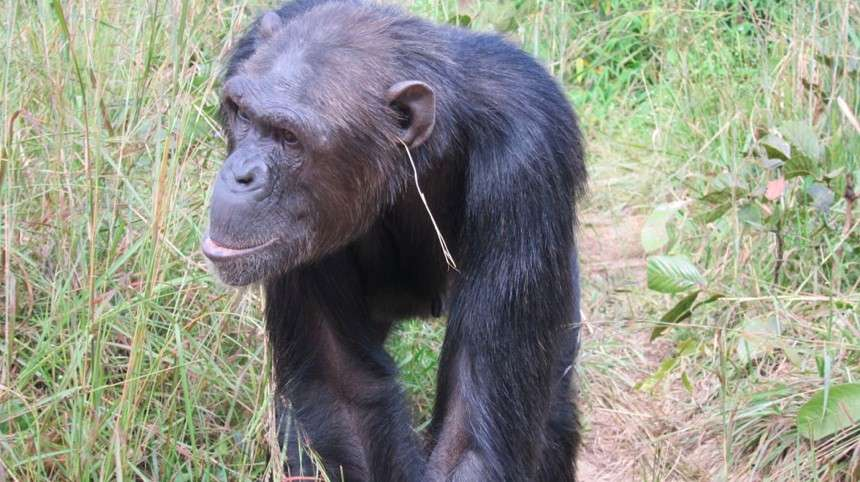 Julie, le chimpanzé qui a lancé une nouvelle tendance : l'herbe dans l'oreille. © van Leeuwen et al. Animal Cognition, 2014