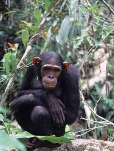 Chimpanzé dans son habitat naturel. Source : Help Congo