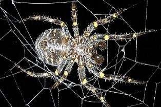 L'araignée Parawixia bistriata. Crédits USP