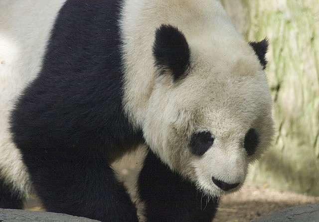 Les scientifiques doivent-ils faire des efforts pour sauver le panda d'une éventuelle extinction ? © peroMHC, Flickr, cc by nc sa 2.0