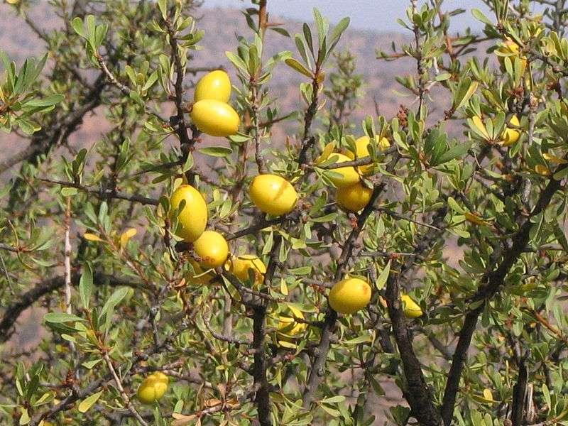 L'huile d'argan est produite à partir des fruits de l'arganier. © Daniel D, Wikimedia, CC by-sa 3.0