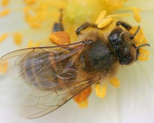 Abeille butinant une fleur de ronce. Crédit : Jean-Luc Barraud.