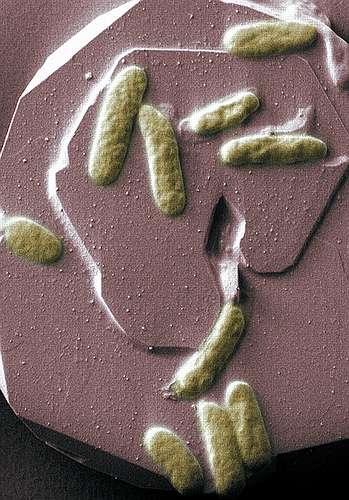 La bacterie Shewanella oneidensis respire le métal et danse sur les courants électriques. © Pacific Northwest National Laboratory CC by-nc-sa