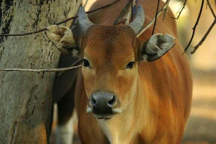 Vache sauvage du groupe de ruminants des Pecora. Plus adaptés aux nouvelles conditions climatiques qui régnaient en Europe de l'ouest, il y a environ 24,5 millions d'années, ces ruminants venus d'Asie ont peu à peu pris la place du groupe qui dominait cette région auparavant : les Tragulina. © Wikipedia Commons