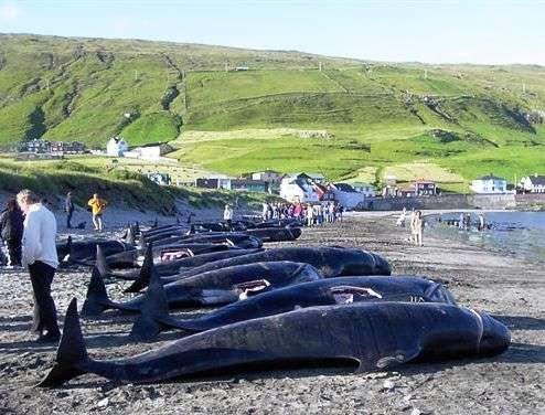 Ces globicéphales ont été tués au large des îles Féroé et seront consommés par la population autochtone. © Erik Christensen, Porkeri, Wikipédia, GNU 1.2
