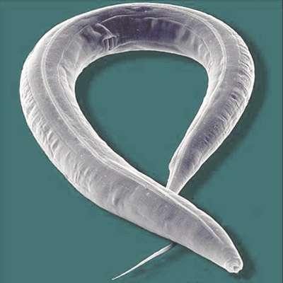 Des scientifiques ont mis en évidence, chez le nématode Caenorhabditis elegans, la transmission de caractères épigénétiques conférant une longévité accrue. © AJ cann, Flickr, cc by nc sa 2.0