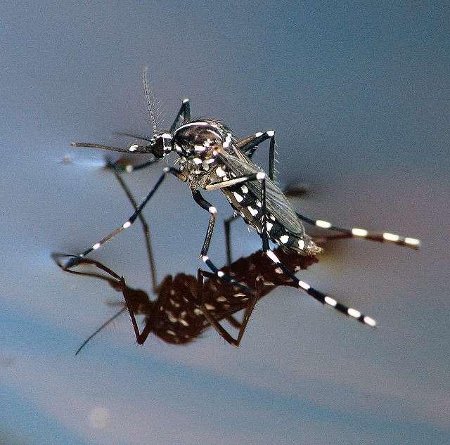 Le moustique-tigre est responsable de la transmission de nombreux virus, dont celui de la maladie chikungunya. Pourtant des gestes simples peuvent freiner l'augmentation des populations. © smccann, Flickr, CC BY-NC-SA 2.0