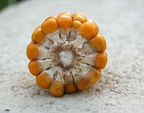 Coupe d'épi de maïs. Crédit Commons