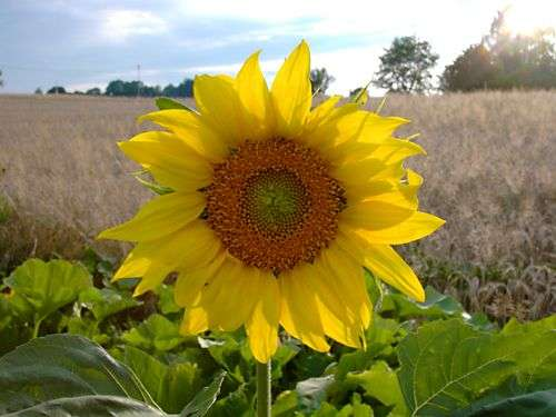 Tournesol. Source : HendrixXx (libre de droits)