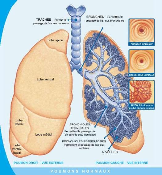 Les poumons font partie du système respiratoire. Constitués de bronches, de bronchioles et d'alvéoles, ils assurent les échanges gazeux entre l'organisme et l'air ambiant. © www.cfeducation.ca