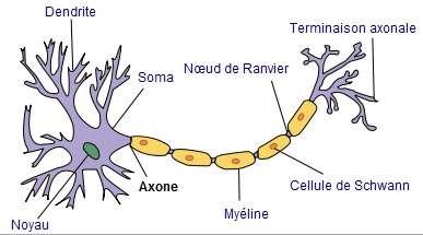 Les neurones sont des cellules avec de nombreux prolongements. © Selket, Wikimedia, CC by-sa 3.0