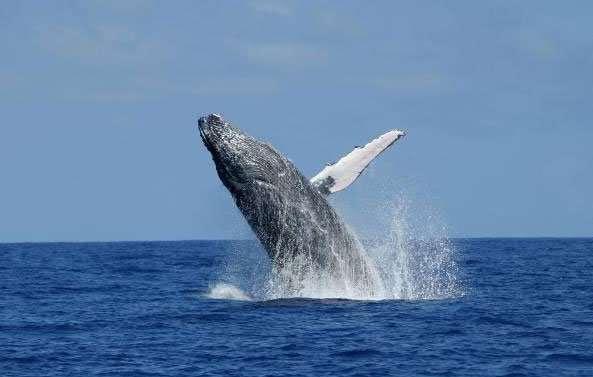 Baleine à bosse. © GLOBICE Réunion