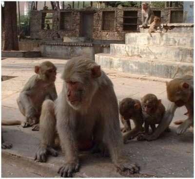Chaque groupe de singe est dominé par un individu