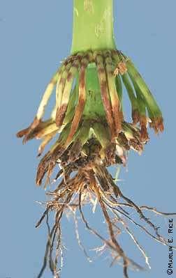 Un pied de maïs totalement rongé par les larves de la chrysomèle. © Marlin Rice/Iowa State University
