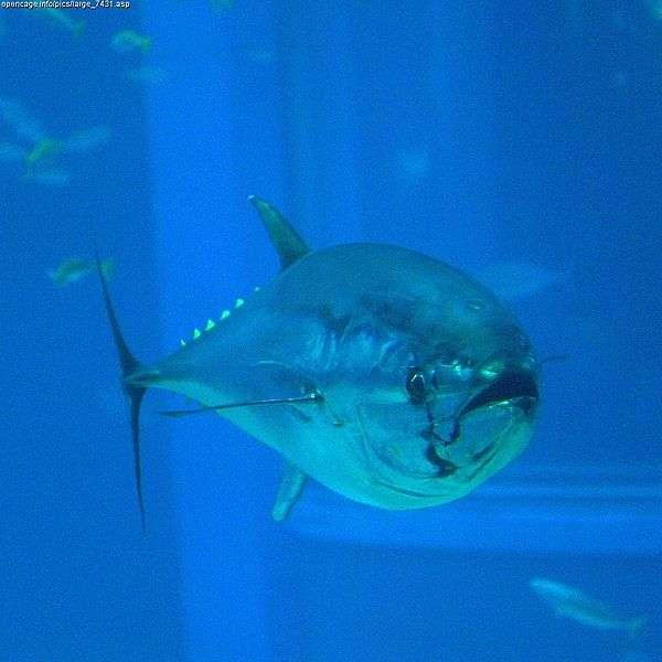 Un thon rouge de l'aquarium Kaiyukan à Osaka, au Japon. La pêche est soumise à des quotas, qui se réduisent d'année en année mais qui ne sont pas respectés par tout le monde. © OpenCage, Creative Commons