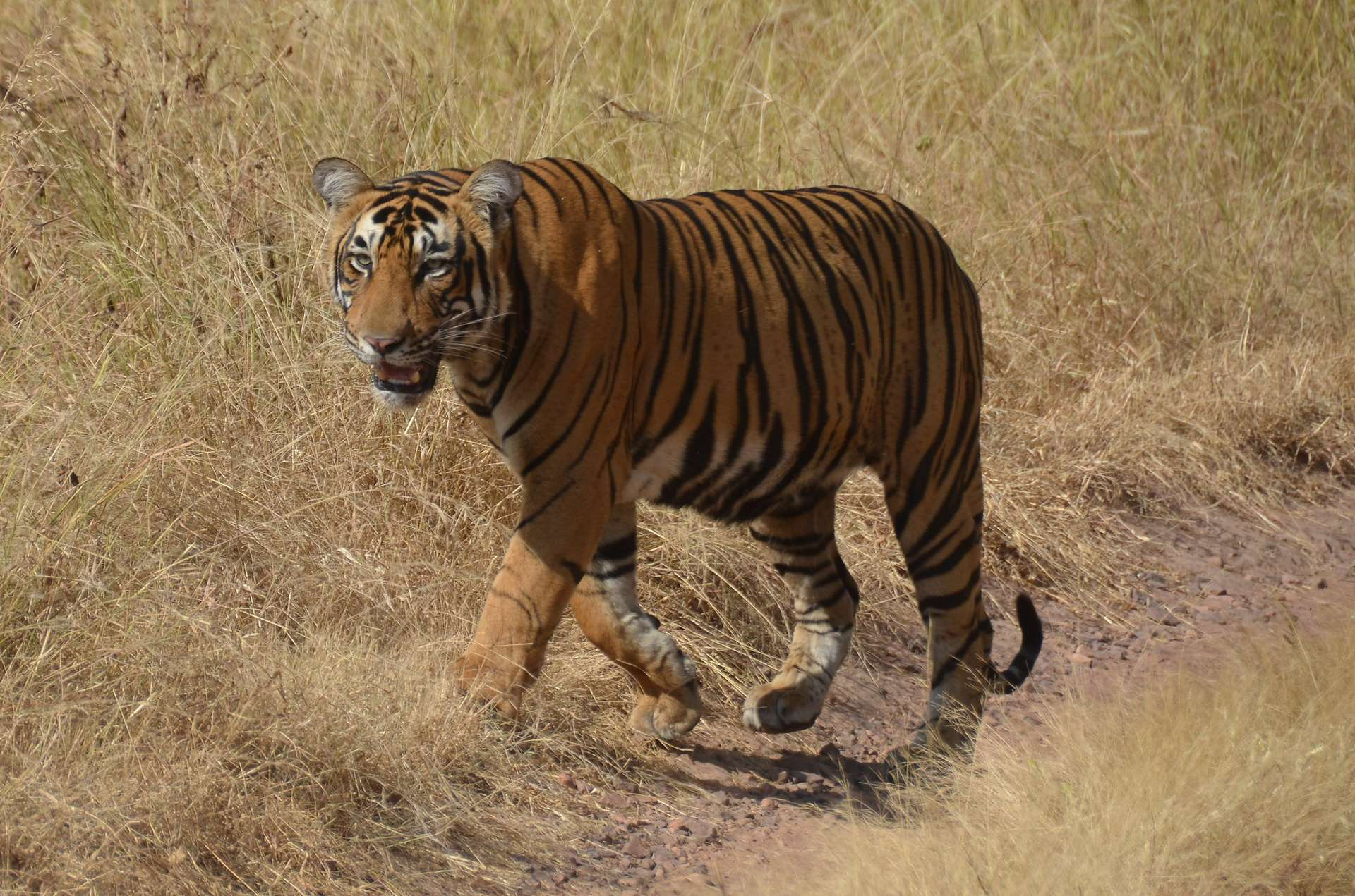 Le tigre a erré sur plus de 1.300 km à la recherche d'un nouveau territoire. © cloudzilla, Flickr
