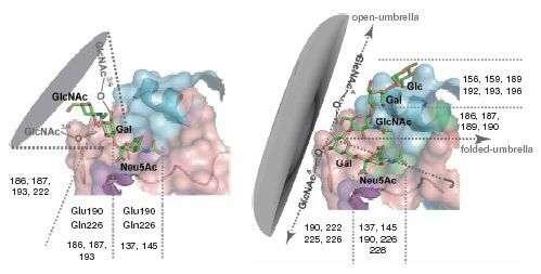 Schéma des récepteurs des virus de type H5 (à gauche) en forme de cône, et de type H1, H2, H3 (à droite) en forme de parapluie. Crédit : MIT