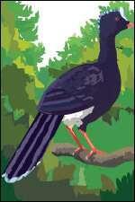 Hocco de Koepcke (Crax unicornis koepckeae)