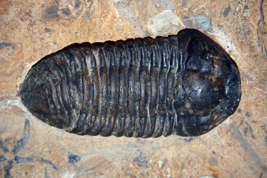 La limite inférieure de l'ère géologique du Paléozoïque, -542 millions d'années, correspond au moment où de nombreux fossiles multicellulaires issus de plusieurs embranchements ont acquis des capacités de biominéralisation. © kevinzim, Flickr, cc by 2.0
