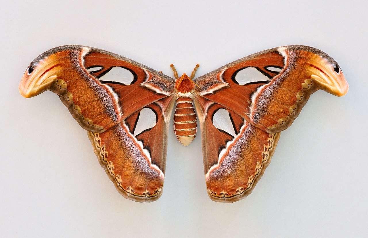 Un Attacus atlas adulte. On voit la tête de serpent à la pointe supérieure de ces ailes. © Quartl, CC by-sa 3.0