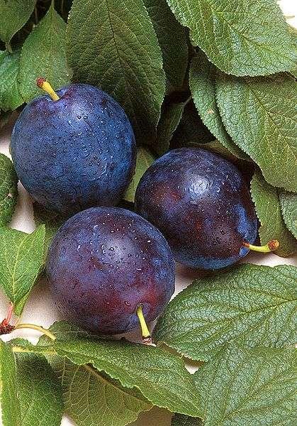 Les quetsches sont une des variétés de prunes, à consommer à la fin de l'été. © DR