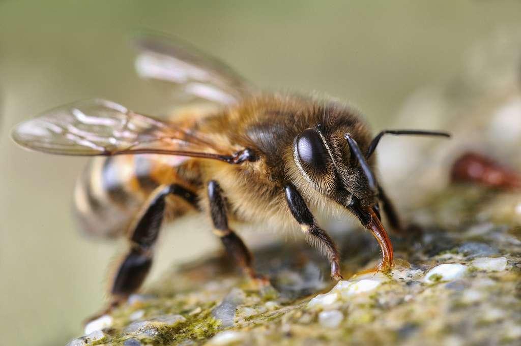 Les abeilles peuvent ressentir les goûts sucrés et salés avec leurs pattes ! En revanche, ces appendices ne détectent pas les substances amères. © Patrick Subotkiewiez patdebaz / Flickr - Licence Creative Commons (by-nc-sa 2.0)