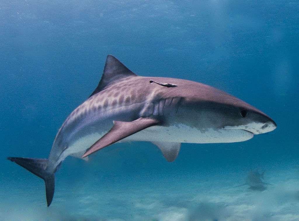 Le plus gros requin-tigre jamais pêché était une femelle de 7,4 m. Mais en moyenne, un requin-tigre mesure entre trois et quatre mètres. © Albert kok, Wikipédia, GNU 1.2