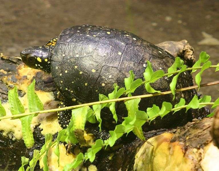 La sauvegarde de la tortue ponctuée implique la conservation des zones marécageuses où l'on peut la trouver. © Dave Pape, DP
