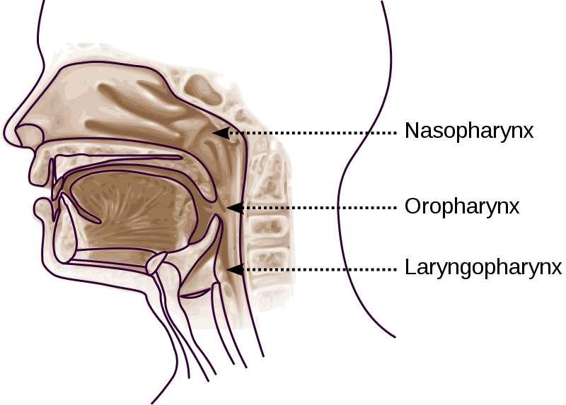 Les trois parties du pharynx : le nasopharynx, l'oropharynx et le laryngopharynx. © Sémhur / Licence Creative Commons