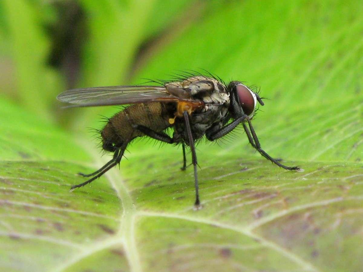Comment Se Débarrasser De Moucherons Naturellement des méthodes naturelles pour chasser les mouches ?
