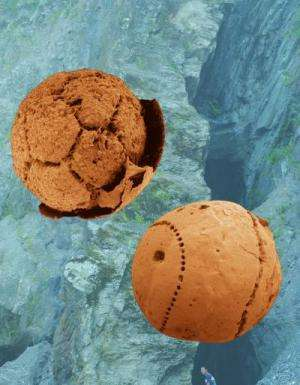 Microphotographies de deux spécimens fossiles d'embryons datant de 600 millions d'années de la Formation Doushantuo en Chine du sud. Crédit : Shuhai Xiao