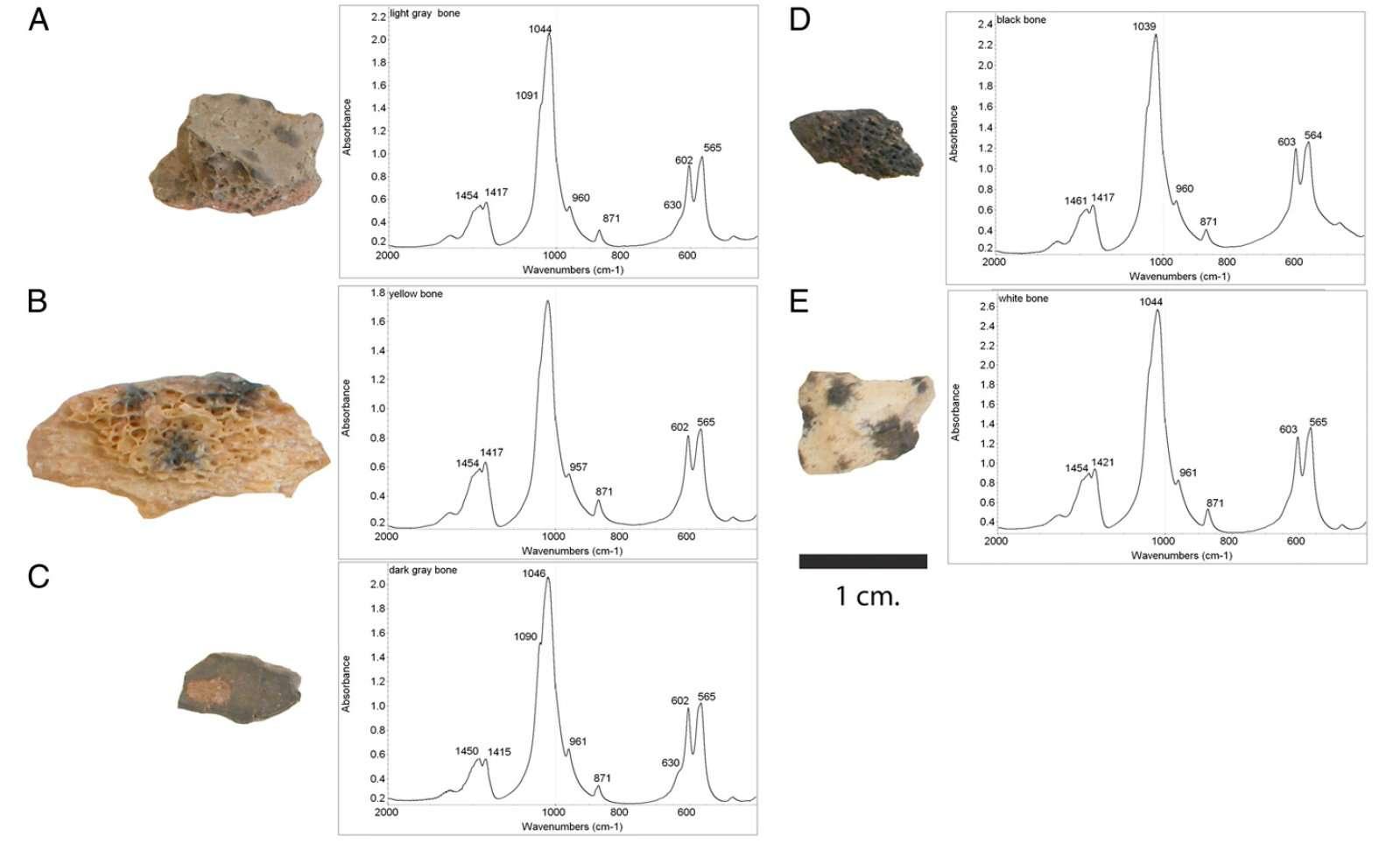 Comment mesurer les températures maximales auxquelles ont été exposés des objets retrouvés calcinés. Ici les fragments d'os exhumés de la grotte Wonderwerk. Pour les échantillons A, C et D, la spectrométrie infrarouge montre deux bandes d'absorption caractéristiques d'une température supérieure à 400 °C. Les fragments B et E, eux, n'ont pas été cuits ou alors à des températures inférieures à 400 °C. © Francesco Berna et al./Pnas