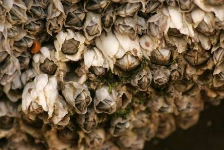 Les balanes (Semibalanus balanoides) sont des crustacés sessiles. © VLIZ (Decleer), Eol CC by-nc-sa 3.0