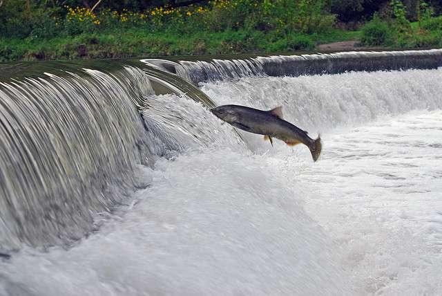 Le saumon, anadrome, remonte les rivières pour se reproduire. © ZaNiaC, Flickr, cc by nc sa 2.0