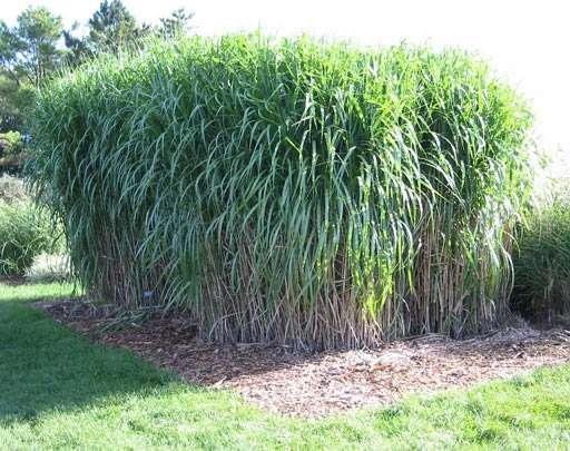 Des plants de Miscanthus x giganteus cultivés par des chercheurs pour étudier son potentiel comme biocarburant et puits de carbone. Crédit : Université du Minnesota